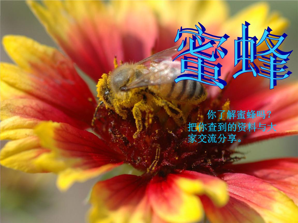 部编人教版三年级下册语文-《14.蜜蜂》课件一.ppt