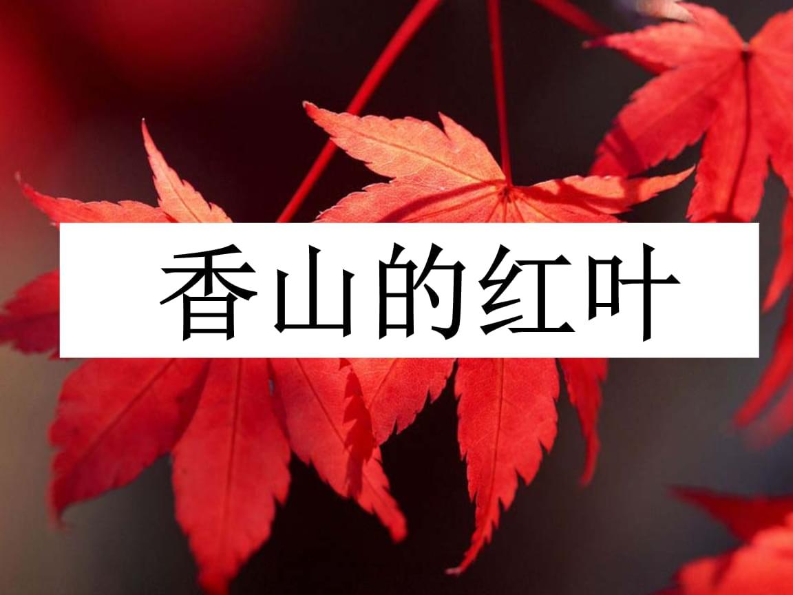 《香山的红叶》课件1.ppt