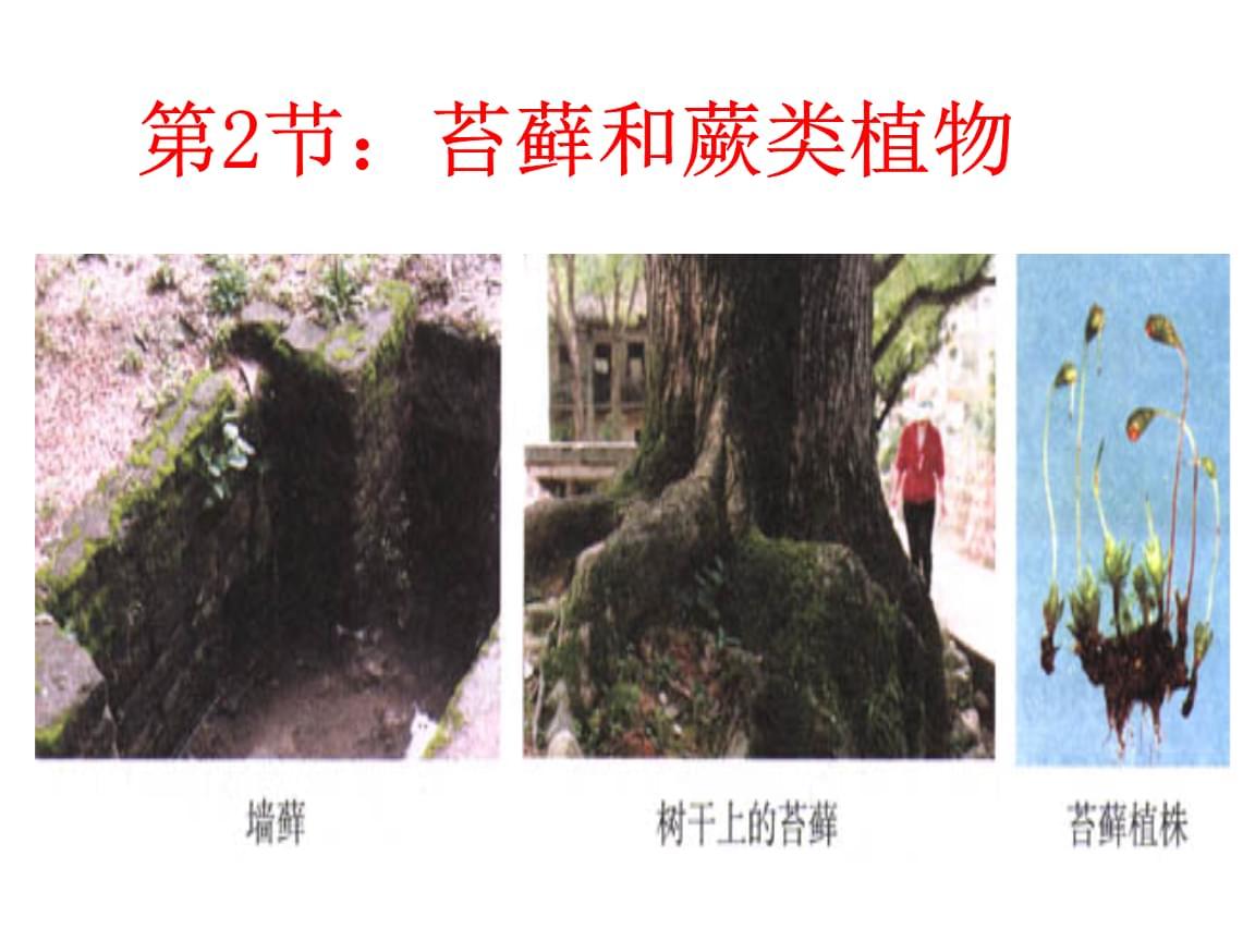 人教版生物七上苔藓植物和蕨类植物.ppt