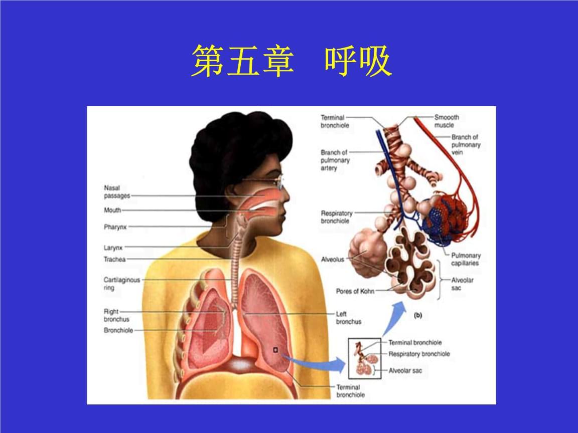 呼吸系统学习.pptx
