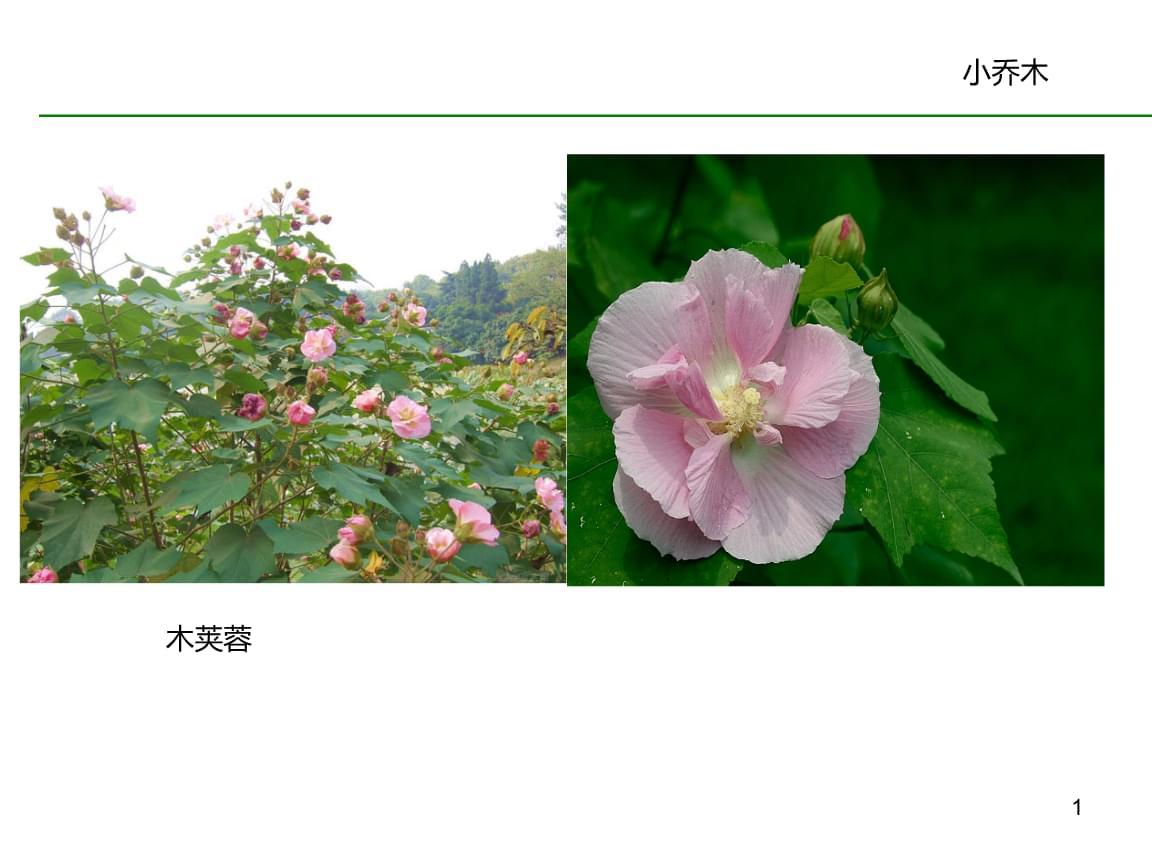 常见的园林植物图谱.ppt
