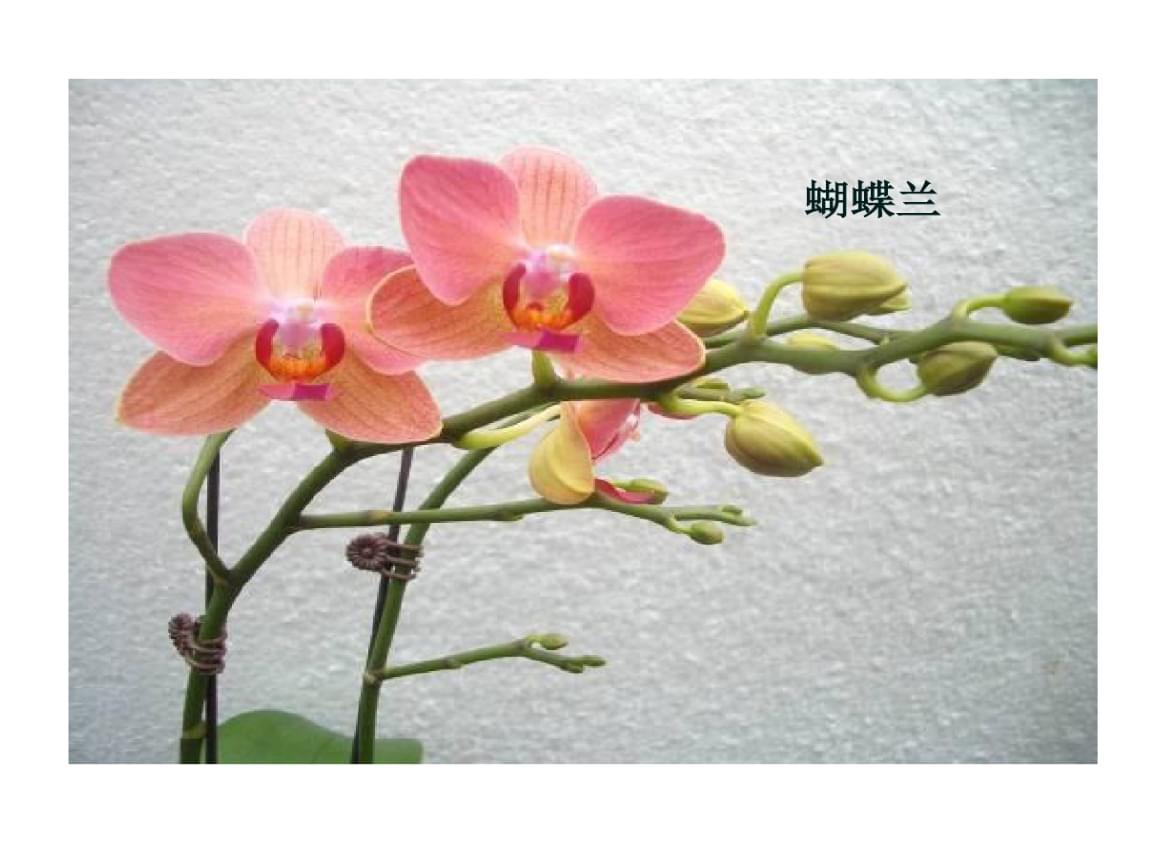 蝴蝶兰杂交育种.ppt