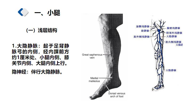 6.4小腿和踝部解剖.pdf