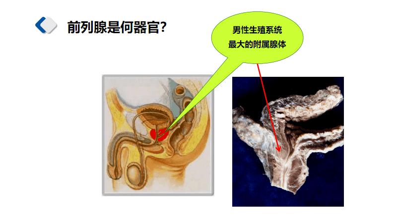 5.1前列腺解剖局部解剖学.pdf