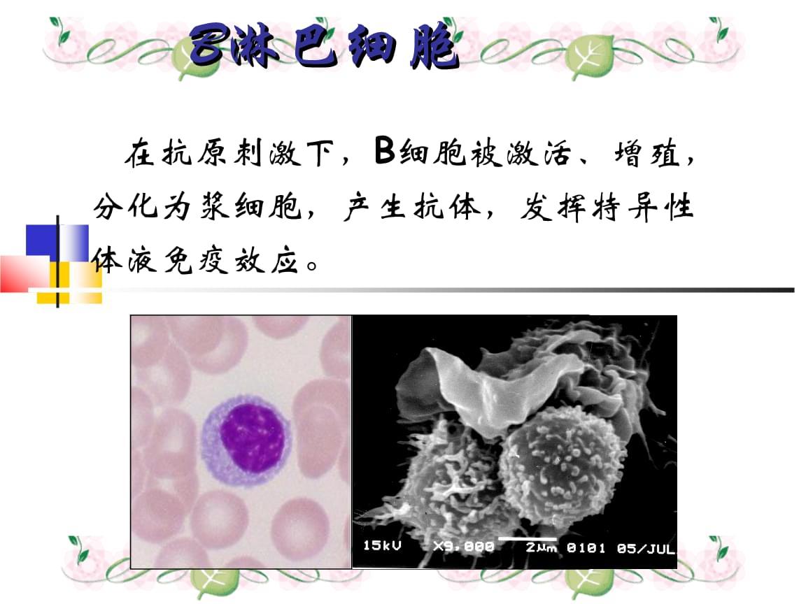 医学免疫学课件:7 B淋巴细胞.ppt