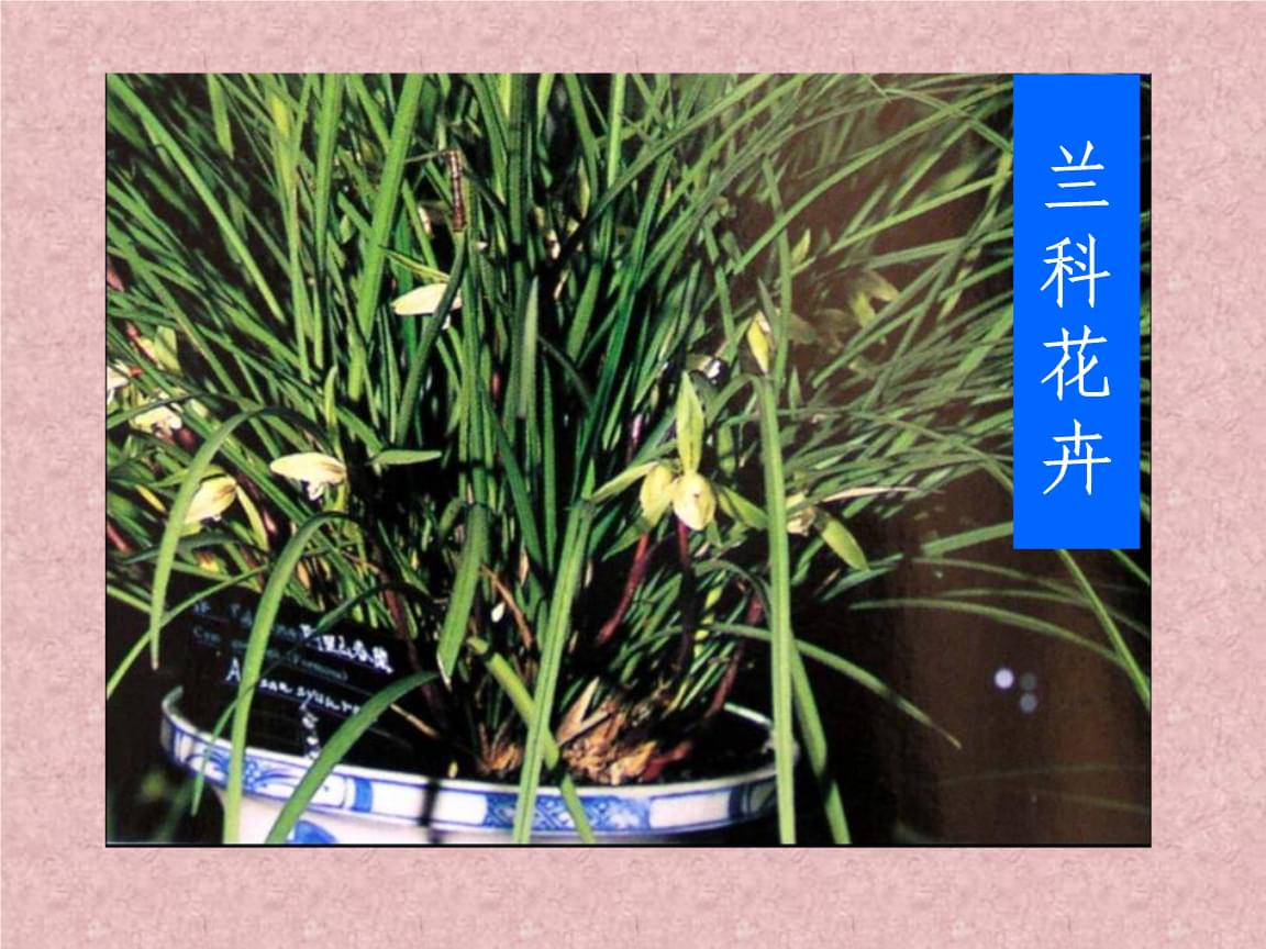 园林花卉学:第十三章 兰科花卉.ppt