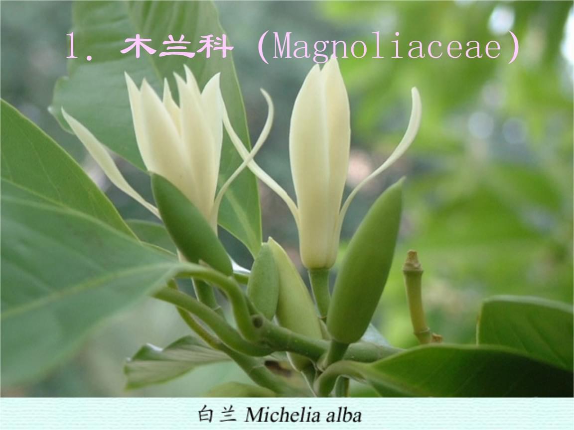 植物学课件:20 木兰科、樟科、毛茛科1.ppt