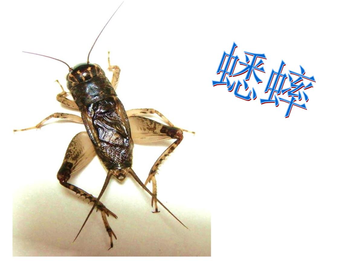 7 蟋蟀的住宅集体备课).ppt