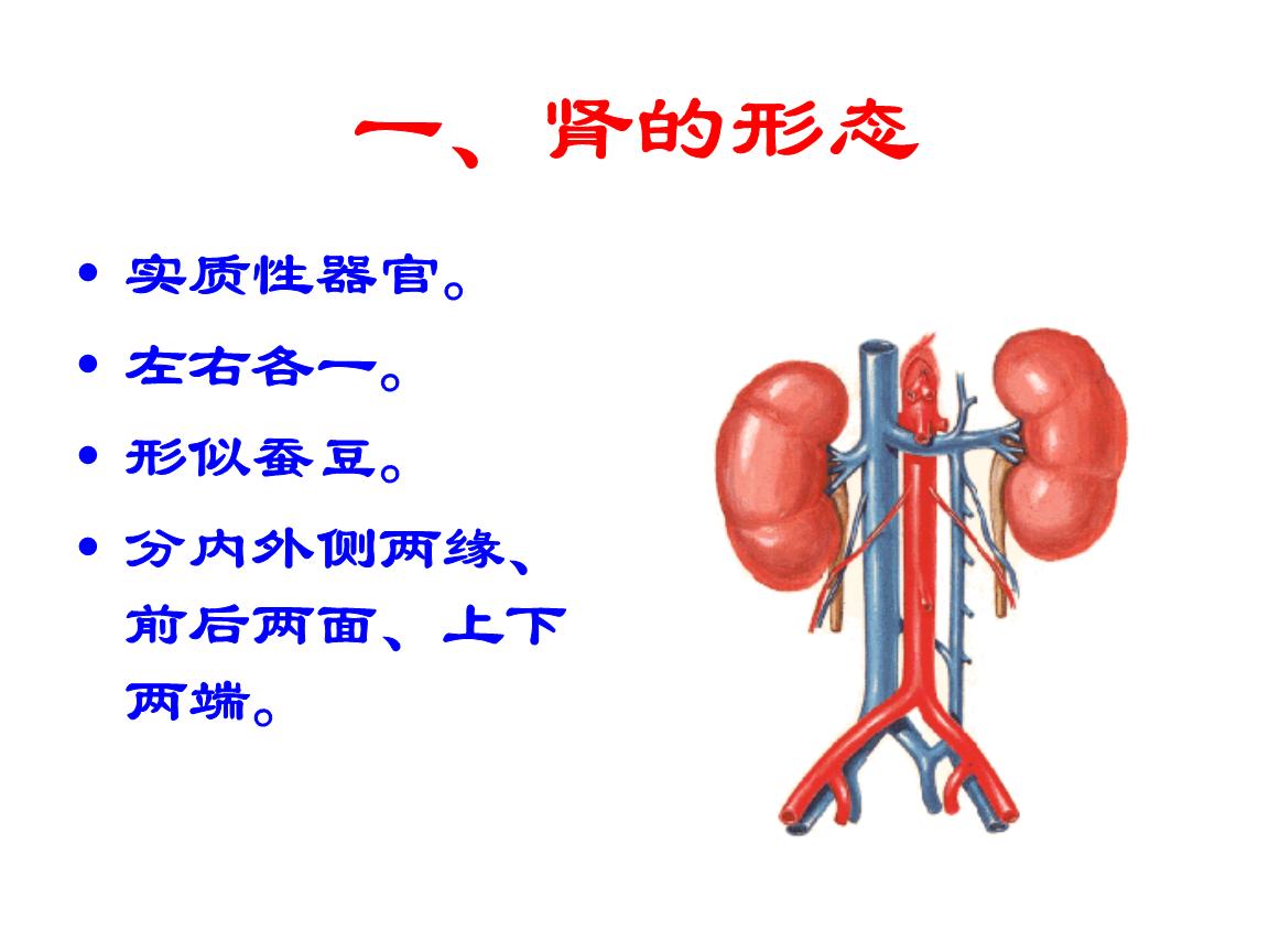 常见的肾脏解剖结构.ppt